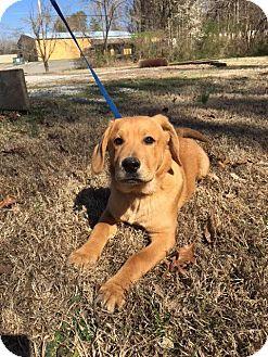 Labrador Retriever/Golden Retriever Mix Puppy for adoption in Harrisonburg, Virginia - Twirl
