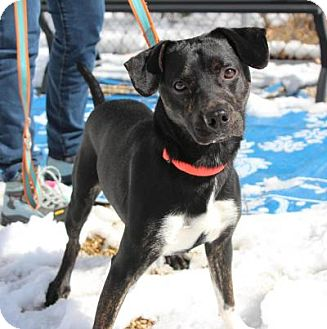 Manchester Terrier/Pug Mix Dog for adoption in Medfield, Massachusetts - Paws