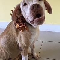 American Bulldog Mix Dog for adoption in Philadelphia, Pennsylvania - Sheila
