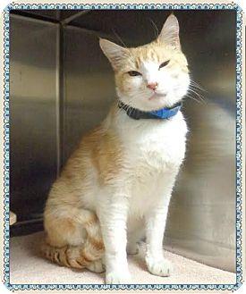 Domestic Shorthair Cat for adoption in Marietta, Georgia - BRADLEY  - reclaimed