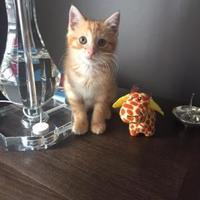 Adopt A Pet :: Pancake 1 - Baltimore, MD