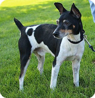 Rat Terrier Mix Dog for adoption in Lisbon, Iowa - Lucky