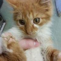 Domestic Mediumhair/Domestic Shorthair Mix Kitten for adoption in Cleveland, Mississippi - GOUDA