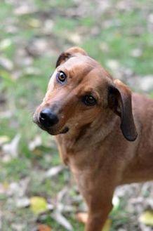 Hound (Unknown Type) Mix Dog for adoption in Dayton, Ohio - Rose