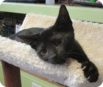 Domestic Shorthair Kitten for adoption in Reeds Spring, Missouri - Sasha