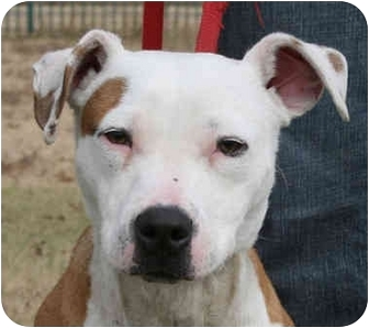 Pit Bull Terrier Mix Dog for adoption in kennebunkport, Maine - Ronnie ADOPTED!