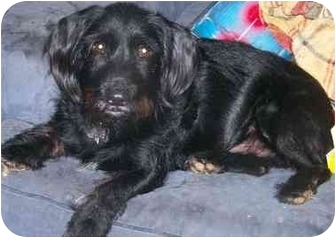 Schnauzer (Miniature)/Poodle (Miniature) Mix Dog for adoption in Gallatin, Tennessee - JAKE
