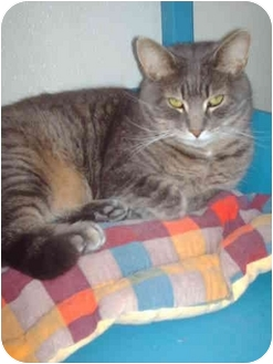 Domestic Shorthair Cat for adoption in El Cajon, California - Nicky