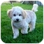 Photo 2 - Bichon Frise/Poodle (Toy or Tea Cup) Mix Puppy for adoption in La Costa, California - Rowdy