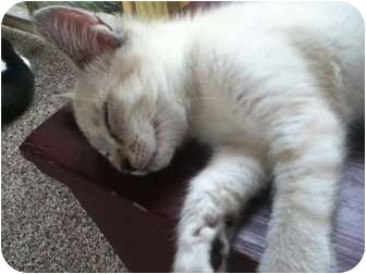 Siamese Kitten for adoption in Plymouth, Massachusetts - Anna