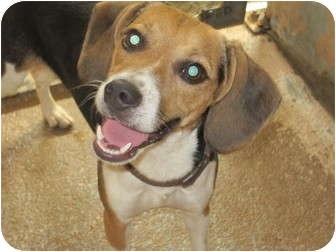 Beagle Mix Dog for adoption in Bradenton, Florida - Shiloh