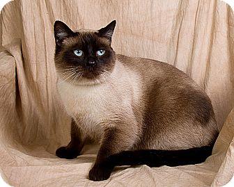 Siamese Cat for adoption in Anna, Illinois - SAM