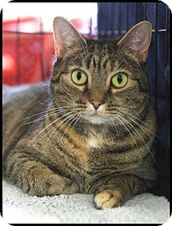 Domestic Shorthair Cat for adoption in Merrifield, Virginia - Stella
