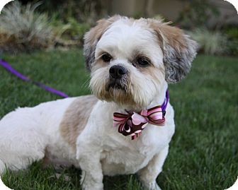 lhasa apso and shih tzu mix agnes adopted dog newport beach ca shih tzu lhasa 4042