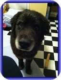 Labrador Retriever/Border Collie Mix Dog for adoption in Foster, Rhode Island - Moose-Reduced Fee!