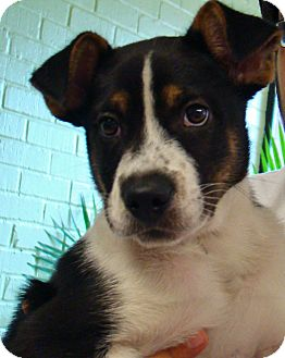 Border Collie/Boxer Mix Puppy for adoption in South Dennis, Massachusetts - Sheldon
