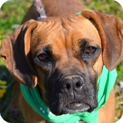Boxer Mix Dog for adoption in East Hartford, Connecticut - MAGGIE MEET ME 5/3