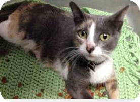Calico Cat for adoption in Davie, Florida - Muffy