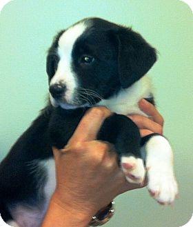 "Australian Shepherd/Border Collie Mix Puppy for adoption in Oswego, Illinois - I""M ADPTD OMG! Litter ""Maddox"""
