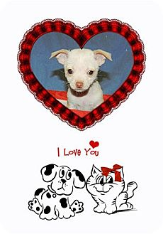 """Chihuahua Puppy for adoption in Oswego, Illinois - Heartthrobs """"Cuddles"""""""