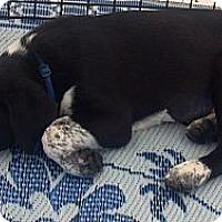Adopt A Pet :: Taylor - Phoenix, AZ
