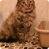 Adopt A Pet :: Long hair Maine Coon mix F cat - Manasquan, NJ