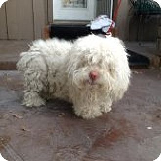 Maltese/Poodle (Miniature) Mix Dog for adoption in Santa Ana, California - Archie