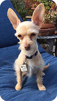 Chihuahua/Terrier (Unknown Type, Small) Mix Dog for adoption in Santa Monica, California - MILA