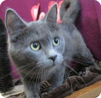 Domestic Shorthair Cat for adoption in Lloydminster, Alberta - Keera