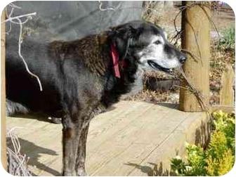 Labrador Retriever/German Shepherd Dog Mix Dog for adoption in Oakland, Arkansas - OLD GIRL