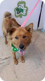 Golden Retriever/Chow Chow Mix Dog for adoption in Rathdrum, Idaho - Cider