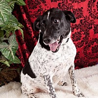 Pointer Mix Dog for adoption in Elizabethtown, Pennsylvania - Riley
