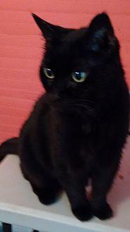 Domestic Shorthair Cat for adoption in Morganton, North Carolina - Morgan