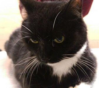 Domestic Shorthair Cat for adoption in Parma, Ohio - Savannah