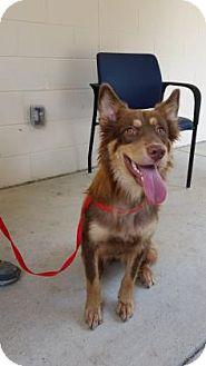 Australian Shepherd Mix Dog for adoption in Cumming, Georgia - Dolce