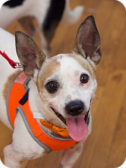Rat Terrier/Jack Russell Terrier Mix Dog for adoption in FOSTER, Rhode Island - Barney