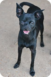 Chihuahua/Pomeranian Mix Puppy for adoption in Hagerstown, Maryland - Cricket