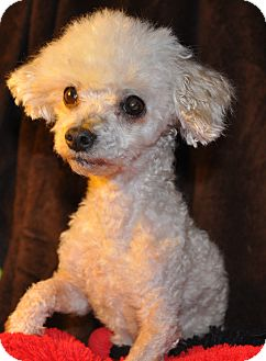 Poodle (Toy or Tea Cup) Mix Dog for adoption in Lebanon, Tennessee - Beau