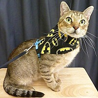 Domestic Shorthair Cat for adoption in League City, Texas - Ralph