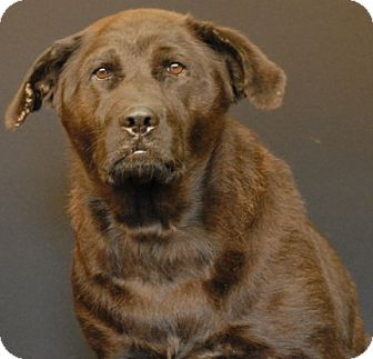Chow Chow/Labrador Retriever Mix Dog for adoption in Newland, North Carolina - Sylvia