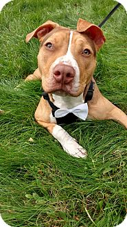 Pit Bull Terrier Mix Puppy for adoption in Glocester, Rhode Island - Reggie