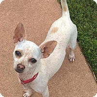 Chihuahua Dog for adoption in Southeastern, Pennsylvania - Pippa