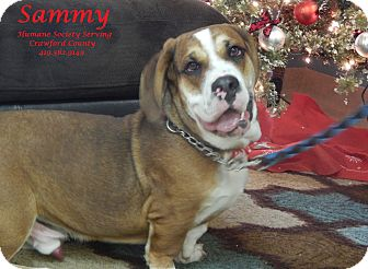 Basset Hound Mix Dog for adoption in Bucyrus, Ohio - Sammy