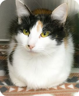 Calico Cat for adoption in Webster, Massachusetts - Chilli