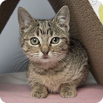 Domestic Shorthair Kitten for adoption in Wilmington, Delaware - Tulip