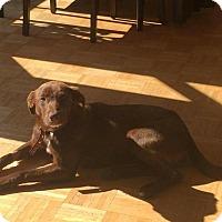 Adopt A Pet :: Lulu Belle - Manhasset, NY