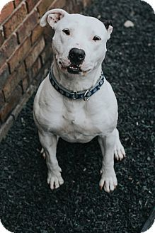 Pit Bull Terrier Mix Dog for adoption in Indianapolis, Indiana - Karma