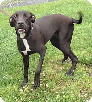 Doberman Pinscher/Labrador Retriever Mix Dog for adoption in Reeds Spring, Missouri - Lunna