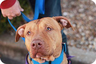Pit Bull Terrier Mix Dog for adoption in Springfield, Missouri - Otis (SPONSORED)