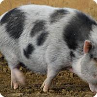 Adopt A Pet :: PORKERS - Elyria, OH